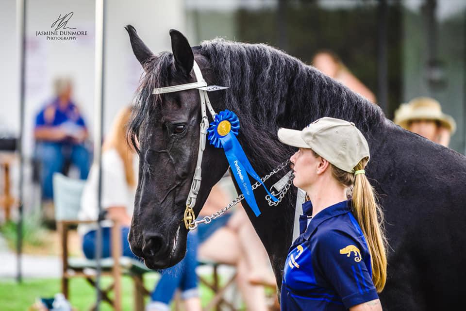Haitske Fan Het Vaantje - Friesian Mare Van Demears Friesian Horse Stud QLD