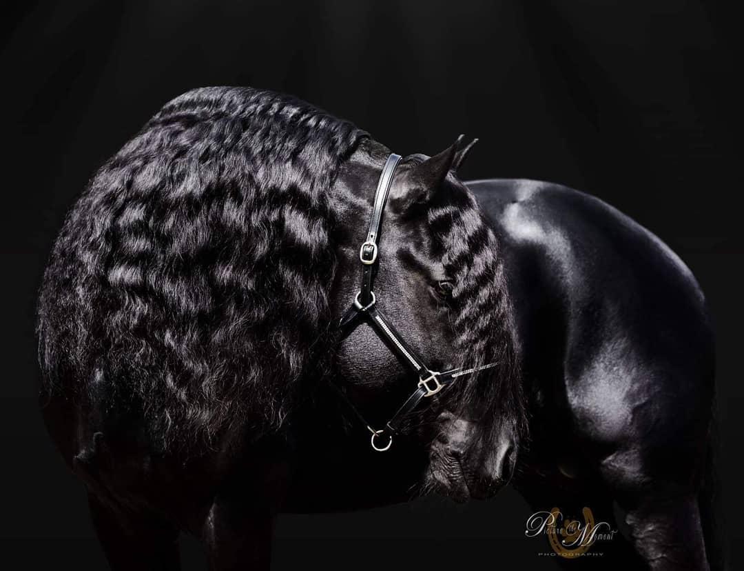 Wester Fan T'Lakerveld - Friesian Breeding Stallion Van Demears Friesian